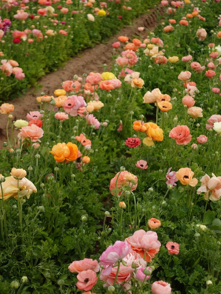 The Flower Fields at Carlsbad, CA